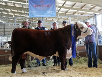 Rayleigh Langden L57. 1st in Class Hereford Australia National Show and Sale 2017